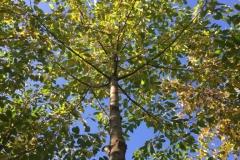 Wertholzproduktion, Vogelkirsche (Prunus avium) geaestet in Damshagen