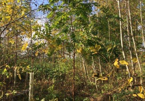3-jaehrige Schwarznuss (Juglans nigra) in Damshagen