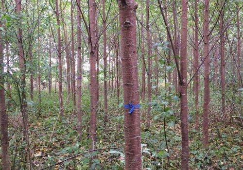 Wertholzplantage, 15-jährige Vogelkirsche (Prunus avium) in Damshagen